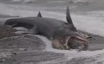 Vidéo : Un requin échoué au Havre ce dimanche 26 novembre 2017
